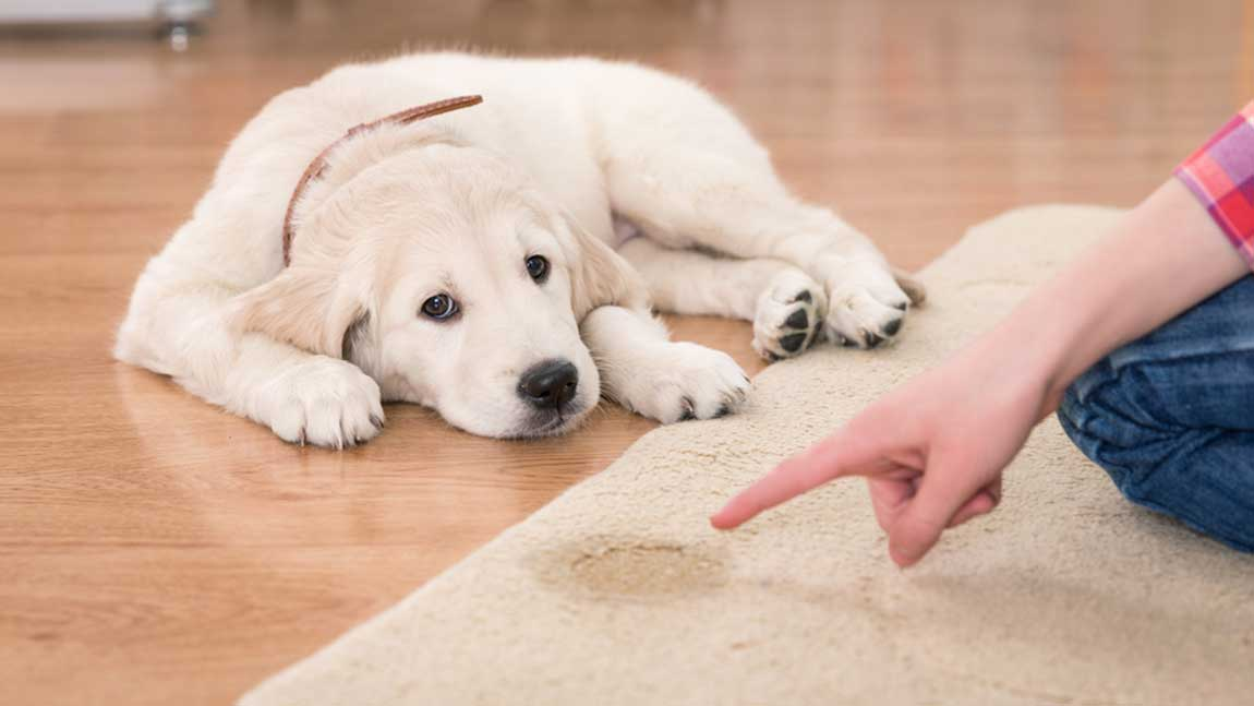 Clean dog urine from carpet